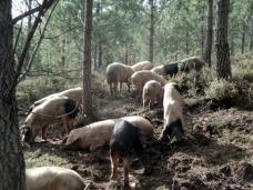porcos_(reduc)
